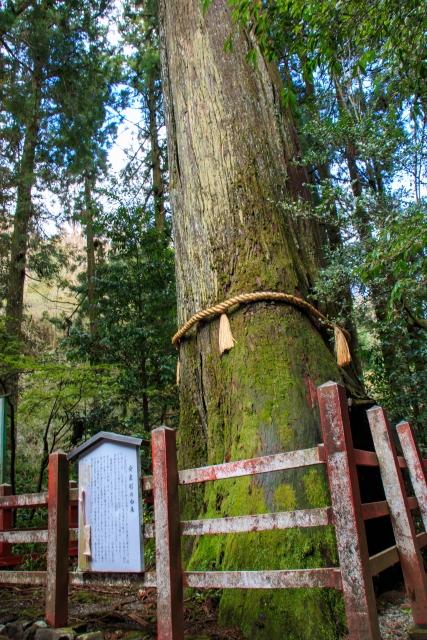 箱根神社 杉  御神木